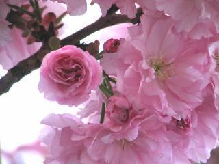 2005 八重桜_f0033598_20291152.jpg