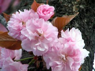 2005 八重桜_f0033598_20292931.jpg