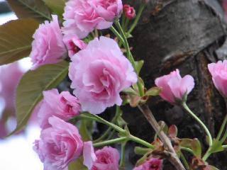 2005 八重桜_f0033598_20294524.jpg