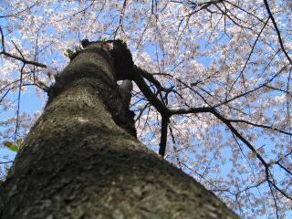 2005 桜_f0033598_202973.jpg