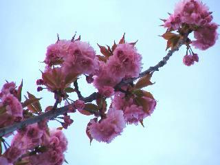 2005 八重桜_f0033598_20302067.jpg