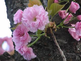2005 八重桜_f0033598_2030470.jpg