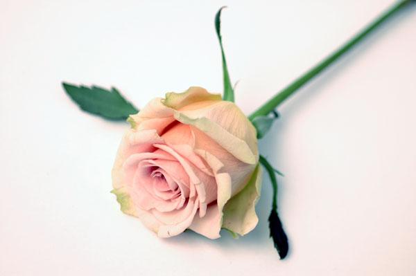 バラ ラスティーク ピンク