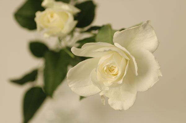 バラ カルトブラッシュ 白