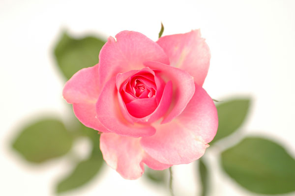 バラ バニティー ピンク