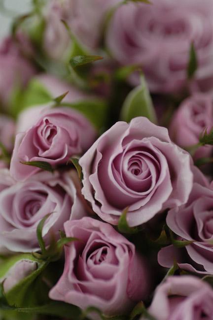 スプレーバラ リトルシルバー 紫