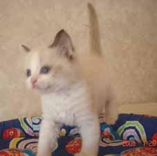 ラグドール子猫5週目_e0033609_13531218.jpg