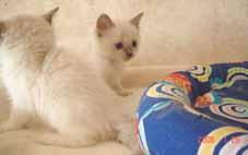 ラグドール子猫5週目_e0033609_13561021.jpg