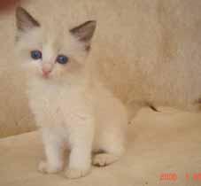 ラグドール子猫5週目_e0033609_13593537.jpg