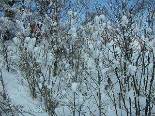 雪の生る木_a0023246_22164535.jpg