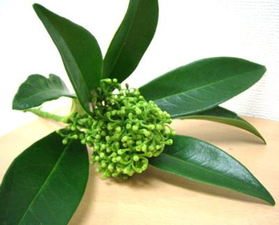 シキミア 緑