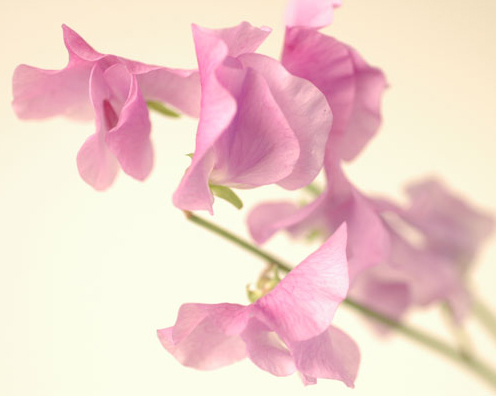 スイートピー 紫