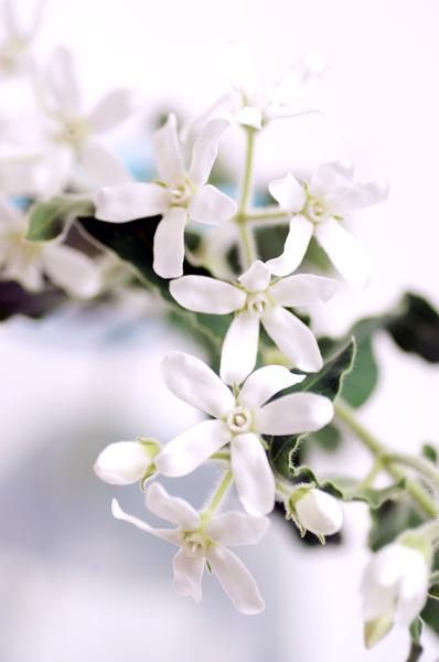 ホワイトスター / 花の図書館