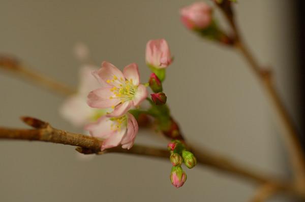 寒桜_f0053272_19353916.jpg