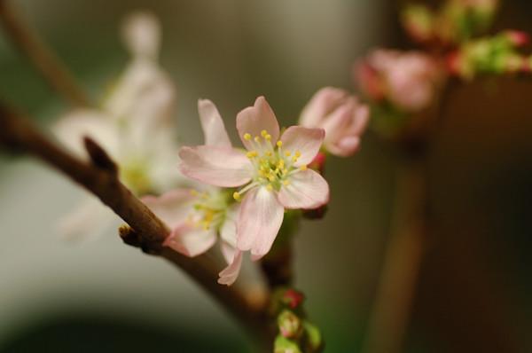 寒桜_f0053272_19401536.jpg