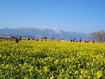 なぎさ公園の早咲き菜の花(滋賀県守山市)_d0055236_1054819.jpg