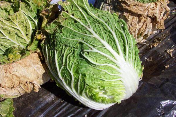 ようやく白菜の収穫です_c0053863_16402812.jpg