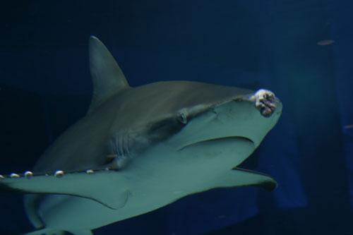 ガラパゴスザメ : 水族館ふりー...