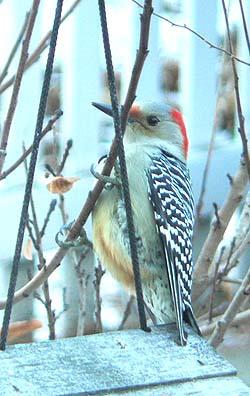 キツツキの仲間 Red-Bellied Woodpecker_d0016347_5301293.jpg