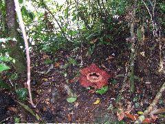 ボルネオ旅行記 (4) ラフレシアを求めてジャングル温泉_b0054727_0315951.jpg