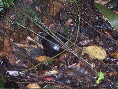 ボルネオ旅行記 (4) ラフレシアを求めてジャングル温泉_b0054727_0435017.jpg