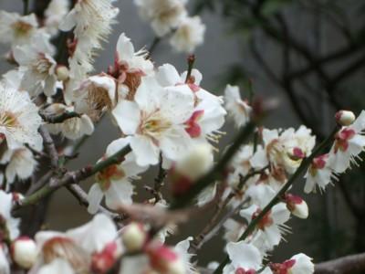 春来たりなば_c0006826_6212076.jpg