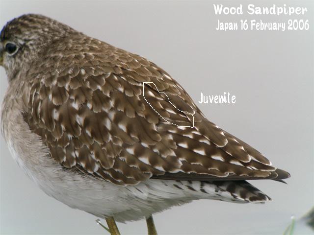 タカブシギ Wood Sandpiper_c0071489_2349124.jpg
