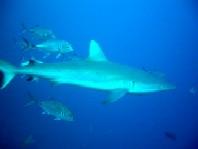 ダイブログ・アジに追われるサメ_a0043520_045271.jpg