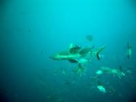 ダイブログ・アジに追われるサメ_a0043520_0455019.jpg