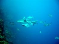 ダイブログ・アジに追われるサメ_a0043520_0464631.jpg