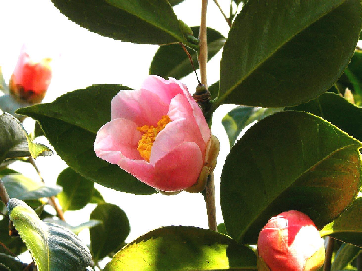 椿の花_f0045132_16192130.jpg