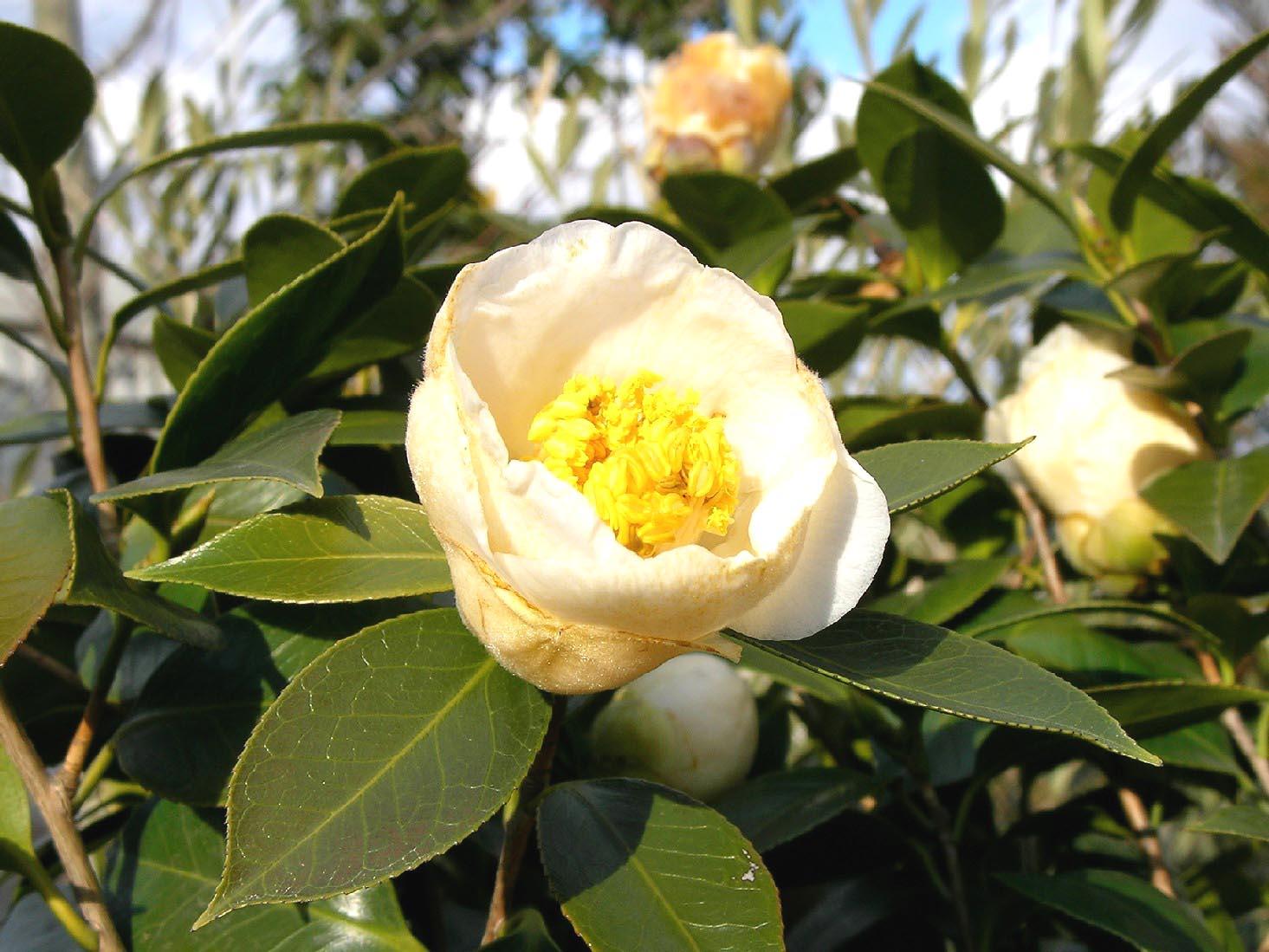 椿の花_f0045132_1619511.jpg