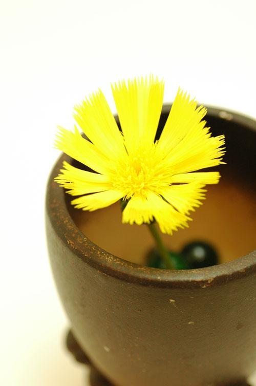 イエローサルタン 黄色