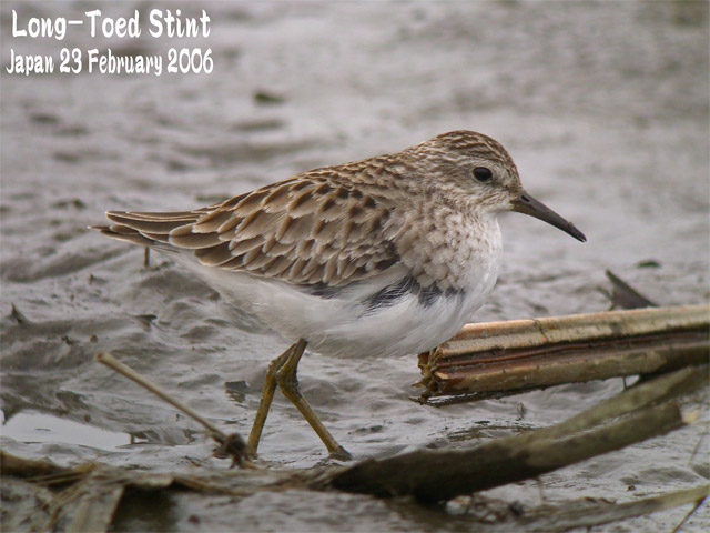 ヒバリシギ 1 Long-toed Stint 1_c0071489_2394999.jpg