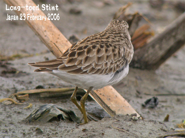 ヒバリシギ 1 Long-toed Stint 1_c0071489_21424723.jpg