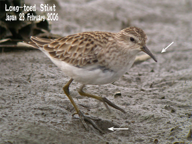 ヒバリシギ 1 Long-toed Stint 1_c0071489_2143892.jpg