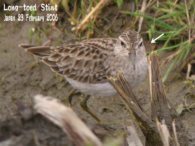 ヒバリシギ 1 Long-toed Stint 1_c0071489_21535246.jpg