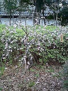 梅を見てまいりました。_e0076995_1342241.jpg