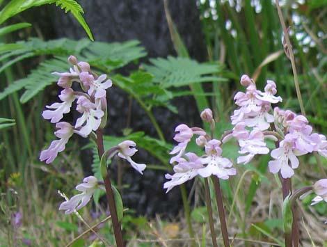 オキナワチドリも咲き乱れてました。_e0028387_22122523.jpg