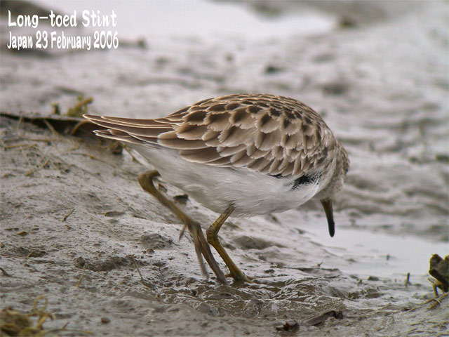 ヒバリシギ 1 Long-toed Stint 1_c0071489_8335346.jpg