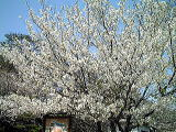 さくら  サクラ  桜  Cherry blossoms  … Expectations …_b0045453_15271440.jpg