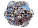 さくら  サクラ  桜  Cherry blossoms  … Expectations …_b0045453_15273893.jpg