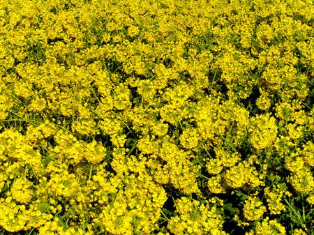 菜の花畑_e0048413_2233833.jpg