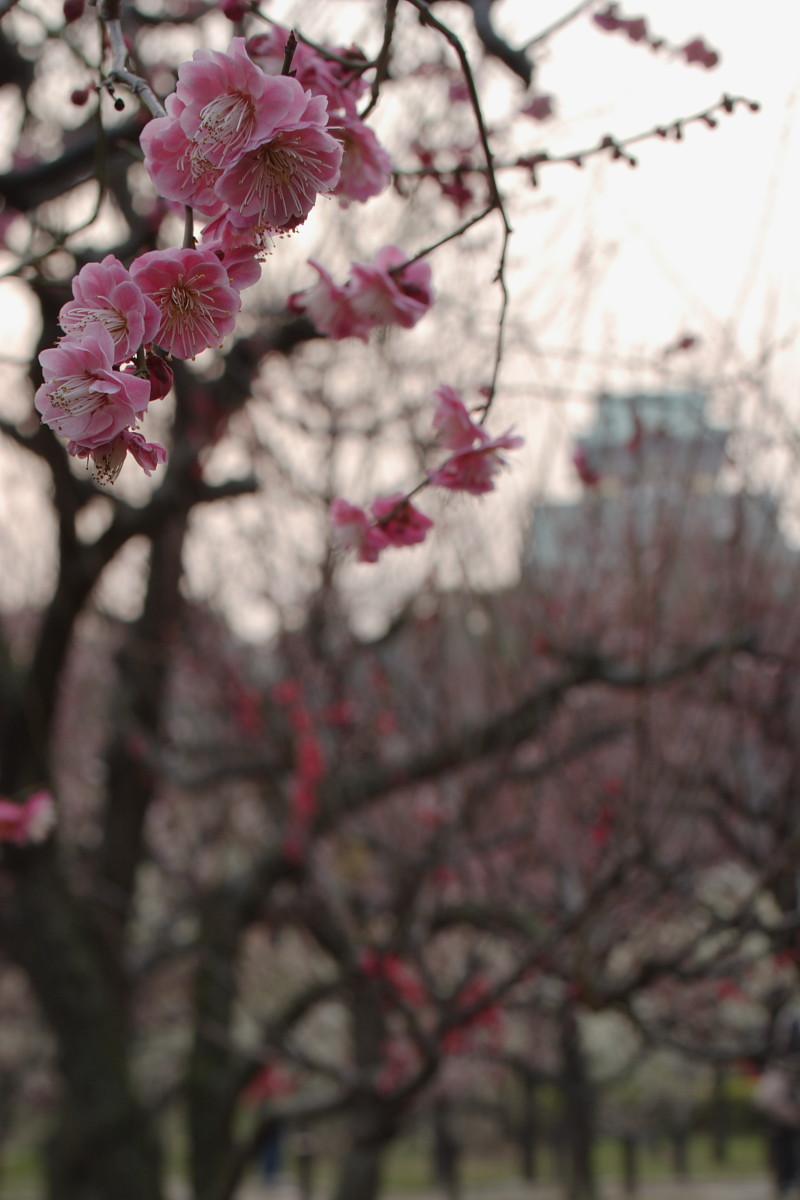 大阪城梅林 またか はいまたよ_f0021869_075849.jpg