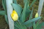 待ちに待った春です、やっとこさ、ぶどうがの芽が動き出しました。_d0026905_1345365.jpg