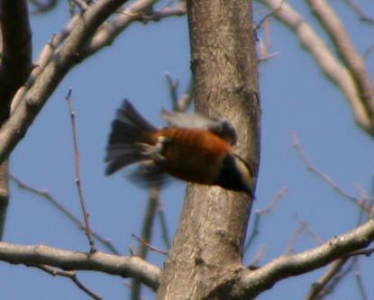 ■鳥類園最新情報(06.03.11~12)_e0046474_11135575.jpg