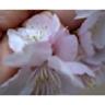 桜開花の謎_f0008555_8265393.jpg