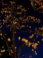 夜の白木蓮_c0052692_14553310.jpg