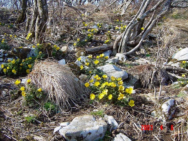 思い出の山 藤原岳の福寿草登山は4月に入ってからがお勧め_d0055236_19402857.jpg