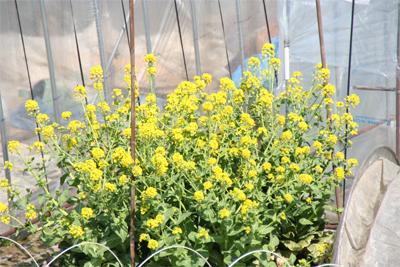 菜の花も咲いています_d0028272_11473218.jpg